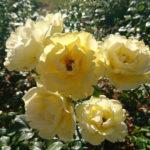 rozenfoto 6