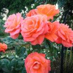 rozenfoto 5