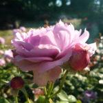 rozenfoto 4