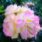 rozenfoto3