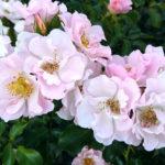 rozenfoto2
