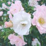 rozenfoto1