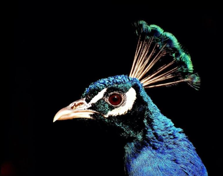 het hoofd van een pauw voor zwarte achtergrond